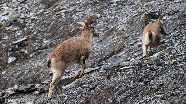 The bharal or Himalayan blue sheep or naur (Pseudois nayaur) is a caprid found in the high Himalayas of Nepal, Tibet, China, India, Pakistan, and Bhutan.