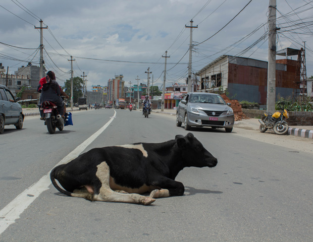 Cows in middle of road