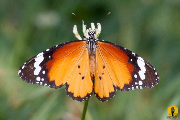 Danaus chrysippus, also known as the plain tiger or African monarch in Nepal.