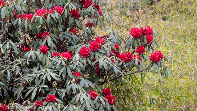 Rhododendron, national flower of Nepal