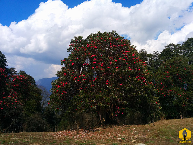 Red Rhododendron, the national flower of Nepal in bloom.